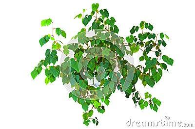 Plant cissus rhombifolia