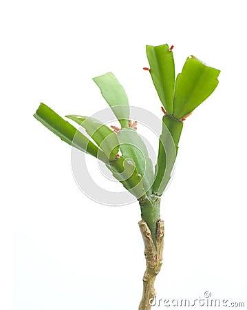 Plant engraftment