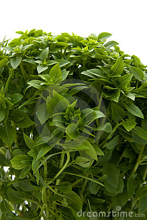 Plant of fine basil in closeup