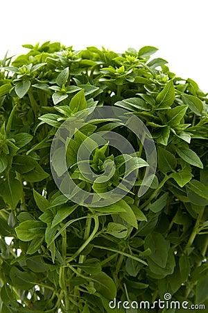 Plant of fine basil in closeup
