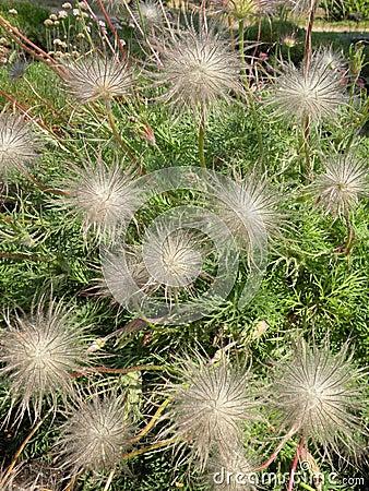 Plant with fuzz