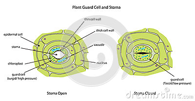 Plant    Guard Cells With Stoma Fully Labeled Stock Illustration  Image  51409771