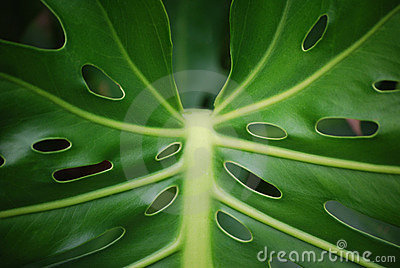 Plant leaf with holes