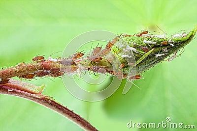 Plant louse colony