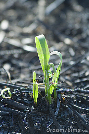 Free Plant On Burned Field Royalty Free Stock Photo - 3530085