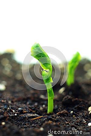 Plant of pea