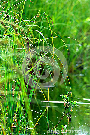 Plant reeds water