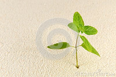 Plant on sands