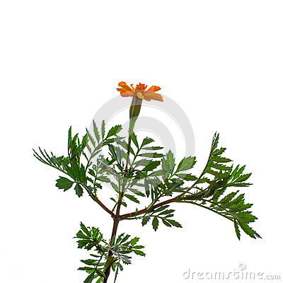Plant  tagetes c snails on a white background.