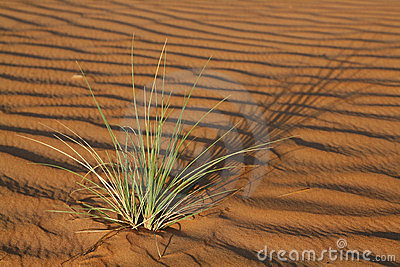 Plant in the Wahiba Sands desert in Oman