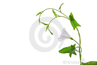 Plant with white flower