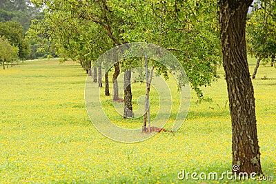 Plantação das árvores de amêndoa