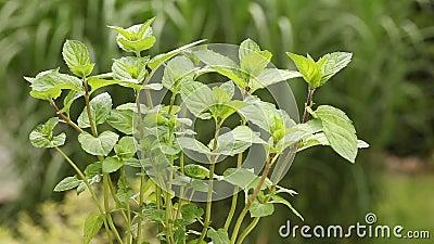 Planta da hortelã no jardim vídeos de arquivo