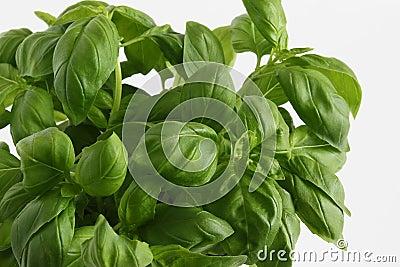 Planta da manjericão (basilicum do Ocimum)