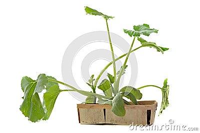 Planta de semillero del calabacín