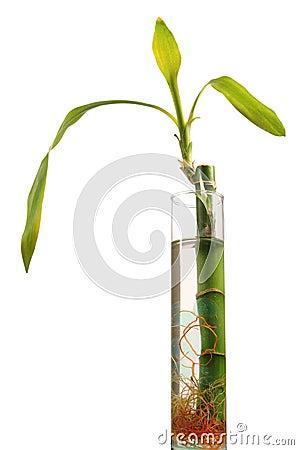 Planta del chino de la buena suerte - Planta de la buena suerte ...