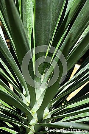 Plantasonya yucas for Planta yuca exterior