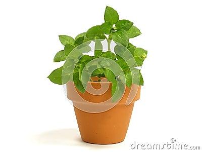 Planta en maceta foto de archivo imagen 17112250 - Hierba luisa en maceta ...