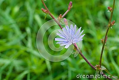 Planta herbácea constante da chicória