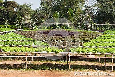 Planta hidropónica da alface