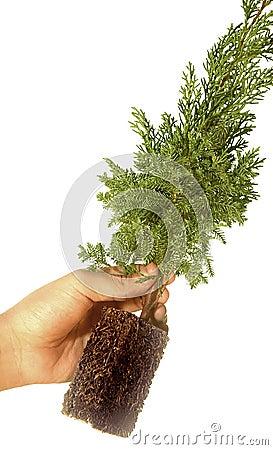 Planta na árvore do casuarina