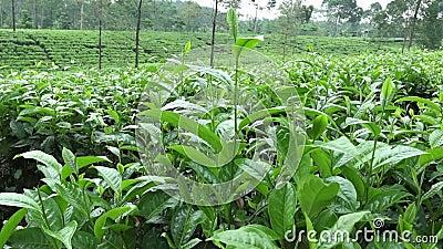 Plantación de té en Wonosobo Indonesia, Java almacen de video