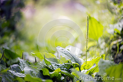 Plantain herb and its bloom Stock Photo