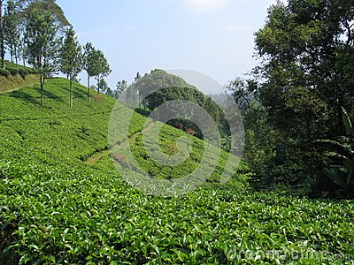 Plantação de chá - Indonésia