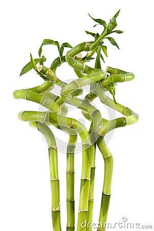 Plantas de bambu