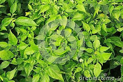 Plantas de los chiles
