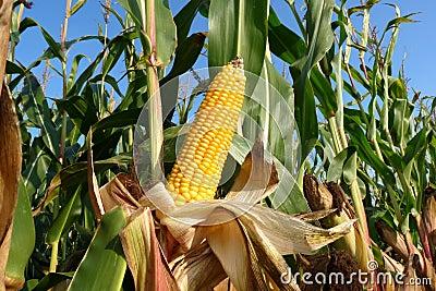 Plantas de milho
