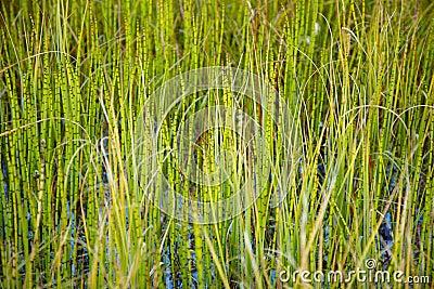 Plantas de pantano - cola de caballo