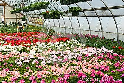 Plantas de semillero de la flor en invernadero imagen de Plantas de invernadero