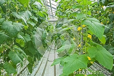 Plantas del pepino que crecen el invernadero interior foto Plantas de invernadero