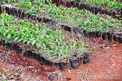 Plantas do café