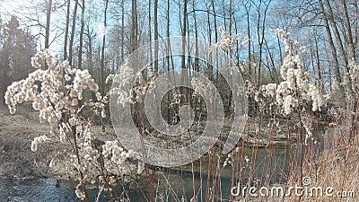 Plantas secas Goldenrod Canadian Solidago video estoque