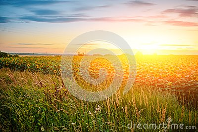 A plantation of beautiful yellow-green sunflowers after sunset at twilight against a beautiful light sky with fluffy clouds Stock Photo