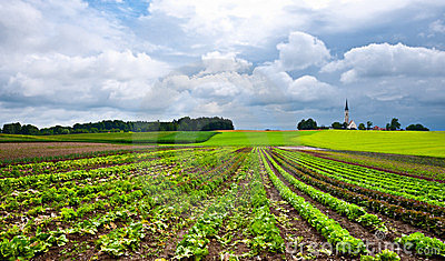 Plantation of Cabbage