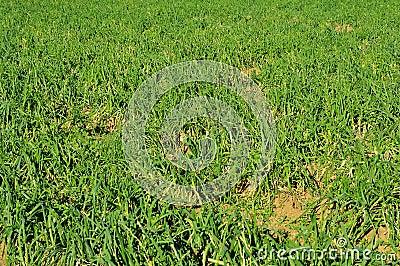Plantation of calcots, catalan sweet onions