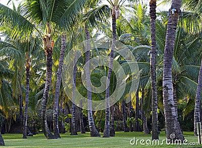 Plantation of coconut trees
