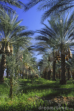 Plantation of date palms in Southern California