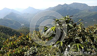 plantation de caf guatemala image libre de droits image 5374656. Black Bedroom Furniture Sets. Home Design Ideas