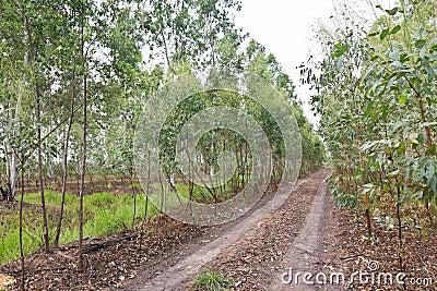 Plantation of Eucalyptus
