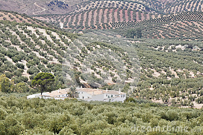 Plantation of olive trees, Andalusia