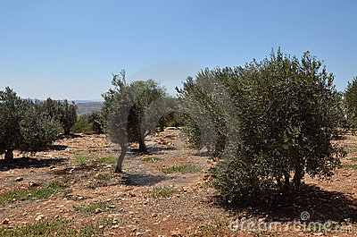 Plantation of olives