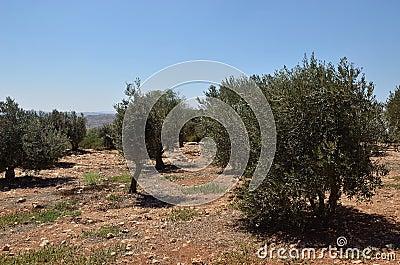 Plantation of olives