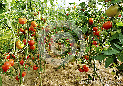 Plantation of tomatoes