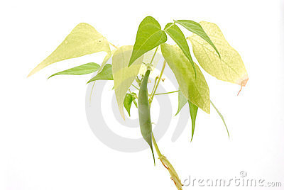 plante de haricot verte photographie stock libre de droits image 12199417. Black Bedroom Furniture Sets. Home Design Ideas