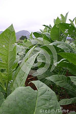 plante de tabac cuba photographie stock image 37686362. Black Bedroom Furniture Sets. Home Design Ideas