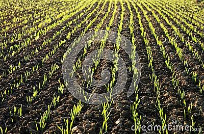 Planted Field in Sunlit